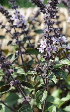 Strauch-Basilikum | Ocimum kilimand.x basilicum 'Magic Blue'